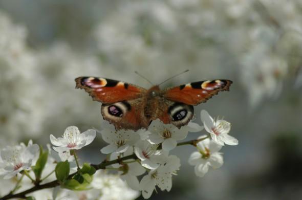 zachwyt motyla