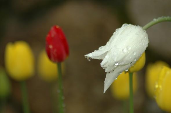 tulipany po deszczu